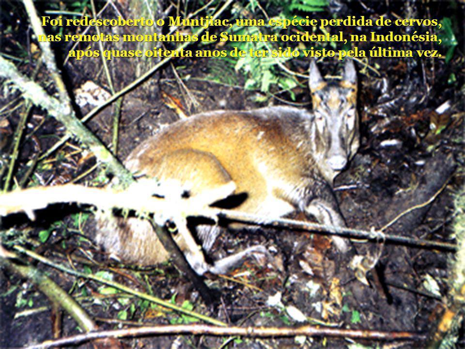 Foi redescoberto o Muntjiac, uma espécie perdida de cervos, nas remotas montanhas de Sumatra ocidental, na Indonésia, após quase oitenta anos de ter sido visto pela última vez.