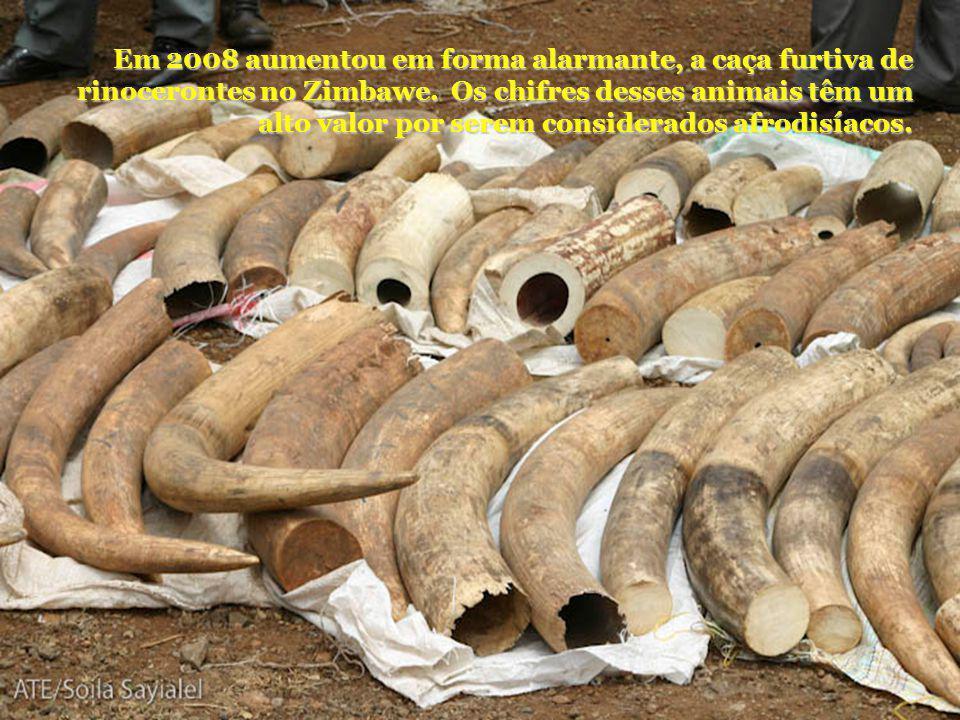Em 2008 aumentou em forma alarmante, a caça furtiva de rinocerontes no Zimbawe.