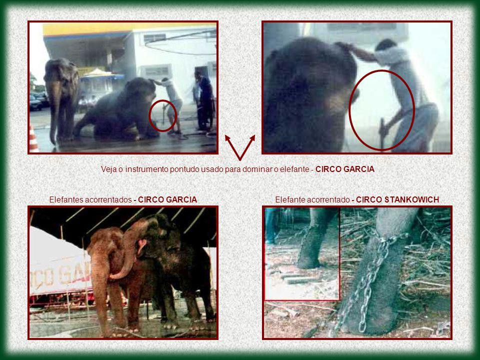 Veja o instrumento pontudo usado para dominar o elefante - CIRCO GARCIA
