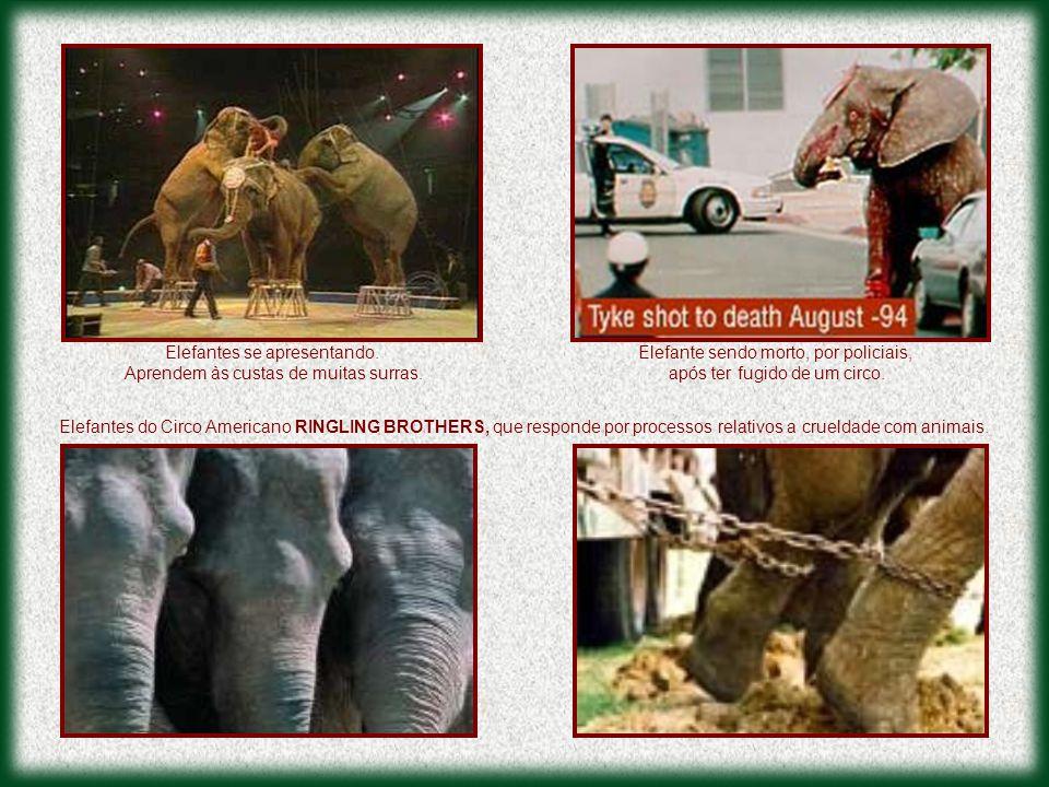 Elefantes se apresentando. Aprendem às custas de muitas surras.