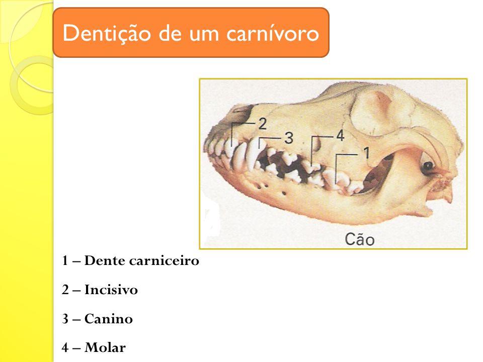 Dentição de um carnívoro