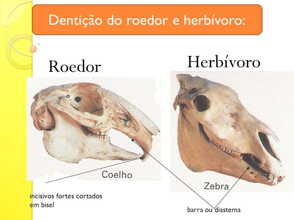 Dentição do roedor e herbívoro: