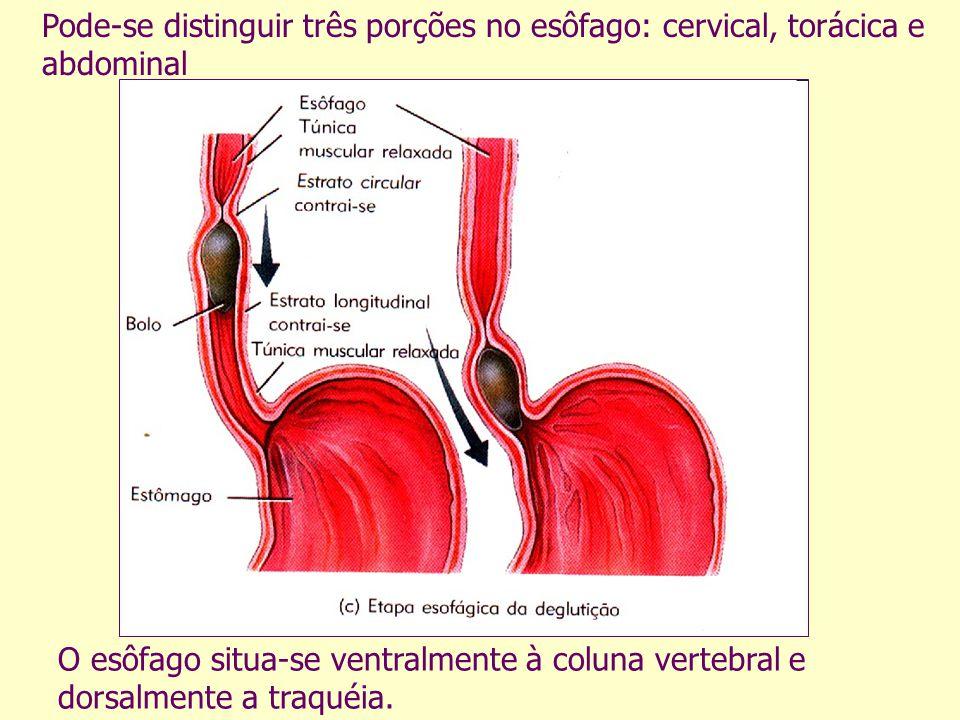 Pode-se distinguir três porções no esôfago: cervical, torácica e abdominal