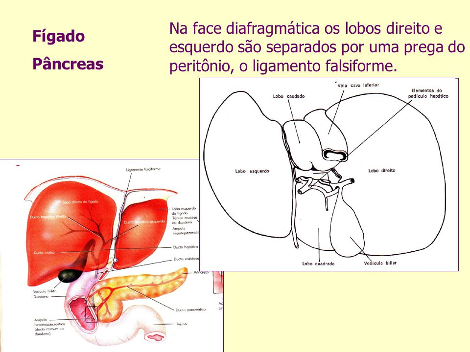 Na face diafragmática os lobos direito e esquerdo são separados por uma prega do peritônio, o ligamento falsiforme.