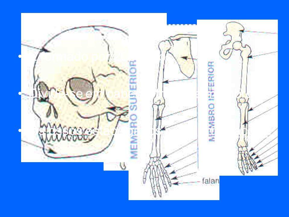 O esqueleto É formado por 206 ossos.