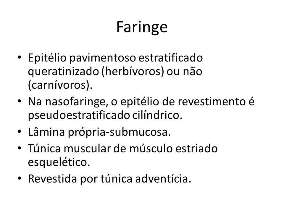 Faringe Epitélio pavimentoso estratificado queratinizado (herbívoros) ou não (carnívoros).