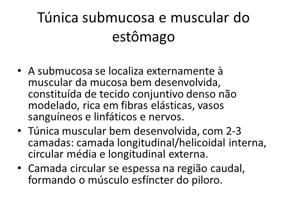 Túnica submucosa e muscular do estômago