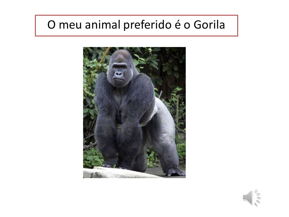 O meu animal preferido é o Gorila