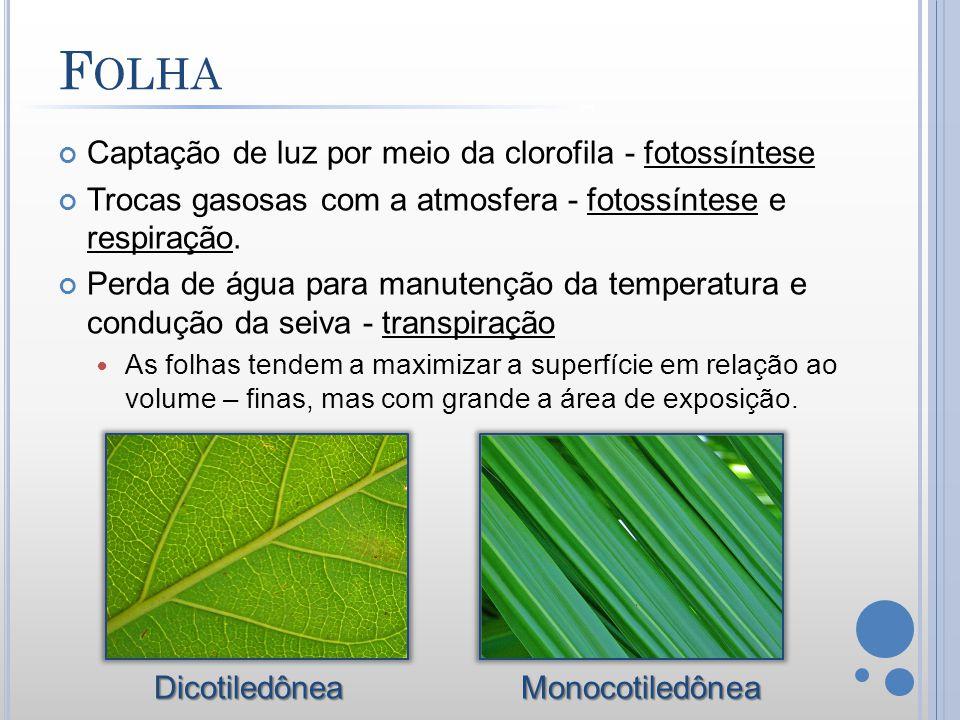 Folha Captação de luz por meio da clorofila - fotossíntese