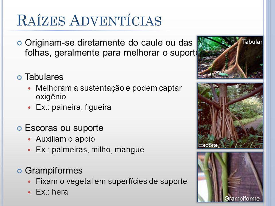 Raízes Adventícias Originam-se diretamente do caule ou das folhas, geralmente para melhorar o suporte.