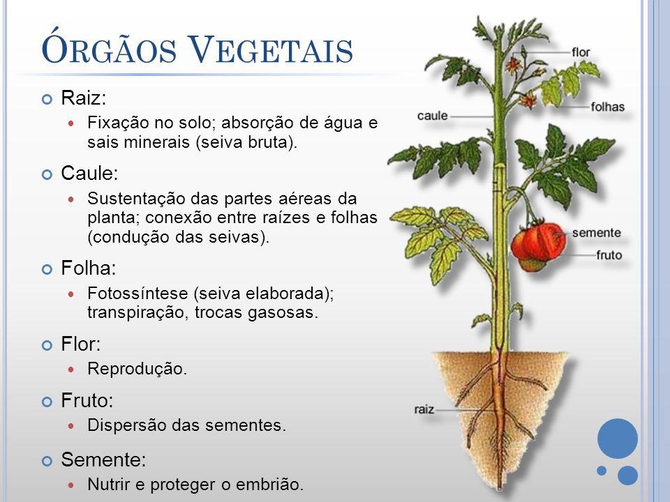 Órgãos Vegetais Raiz: Caule: Folha: Flor: Fruto: Semente: