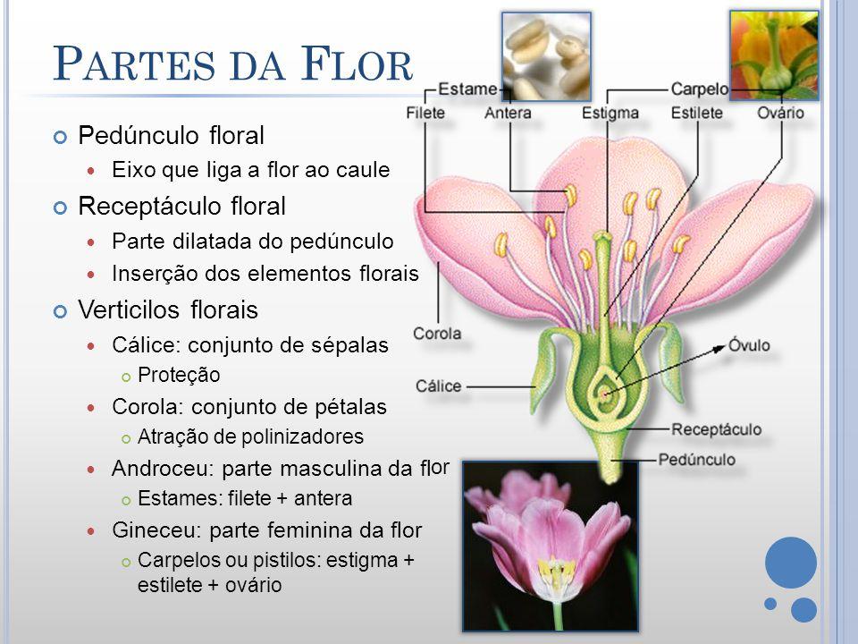 Partes da Flor Pedúnculo floral Receptáculo floral Verticilos florais
