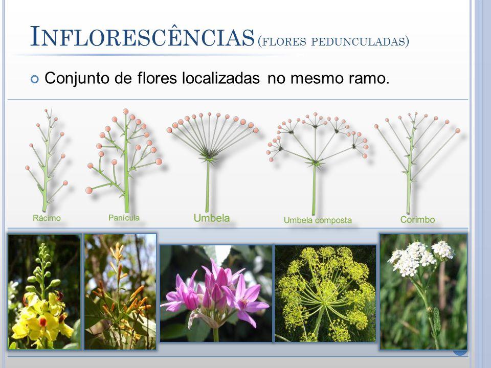 Inflorescências (flores pedunculadas)