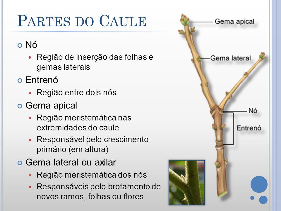 Partes do Caule Nó Entrenó Gema apical Gema lateral ou axilar