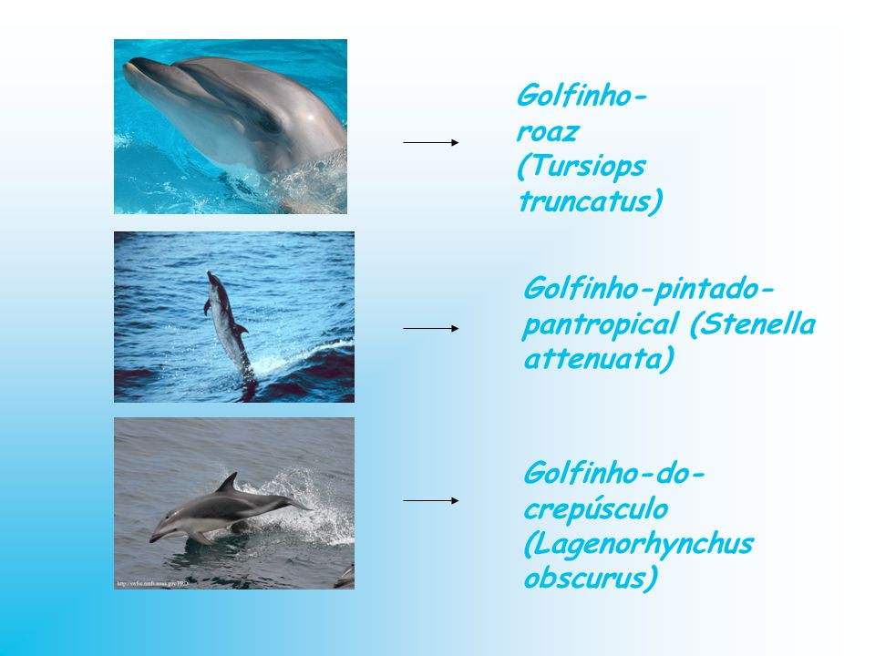 Golfinho-roaz (Tursiops truncatus)