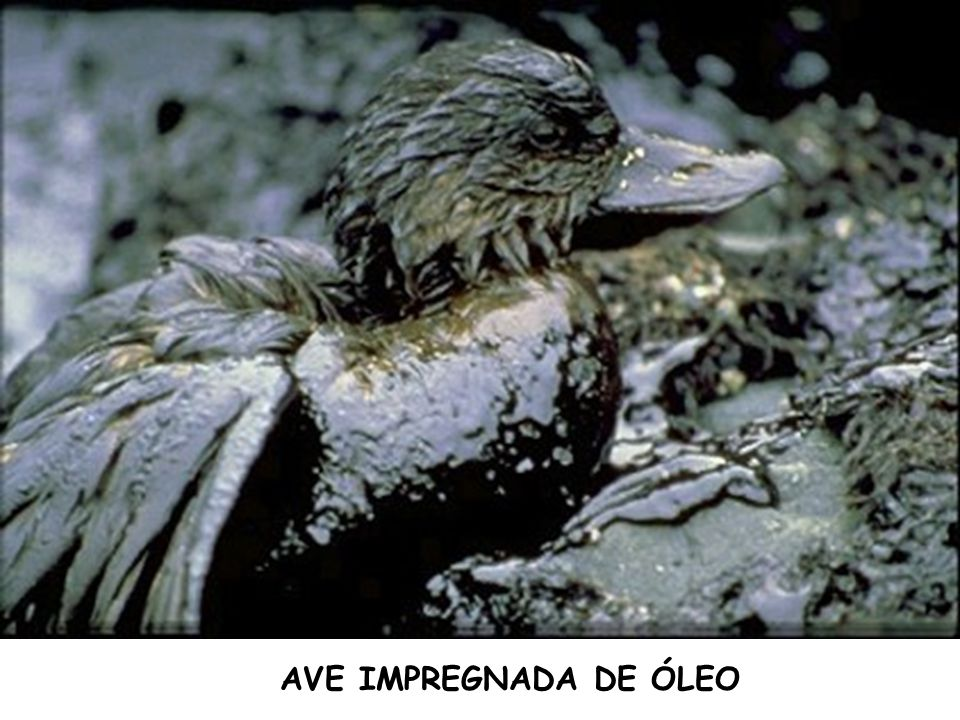 AVE IMPREGNADA DE ÓLEO