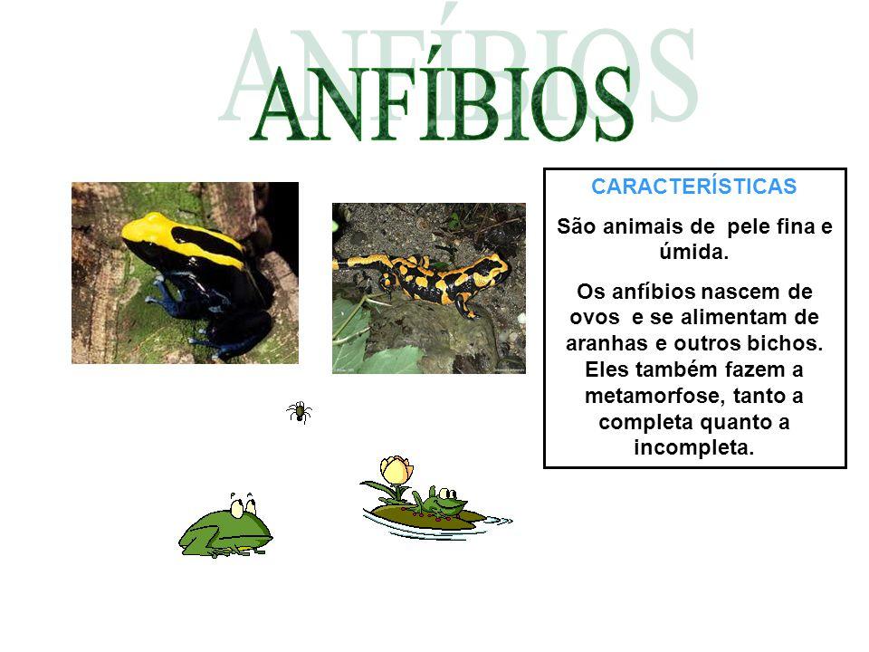 ANFÍBIOS CARACTERÍSTICAS São animais de pele fina e úmida.