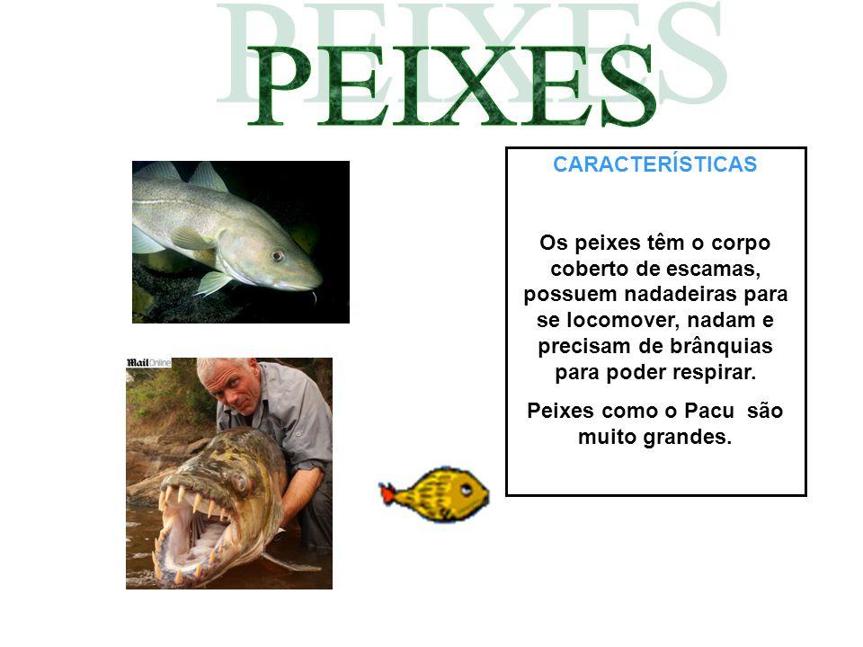 Peixes como o Pacu são muito grandes.