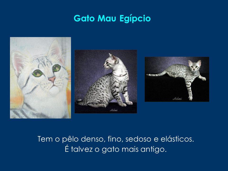 Gato Mau Egípcio Tem o pêlo denso, fino, sedoso e elásticos.