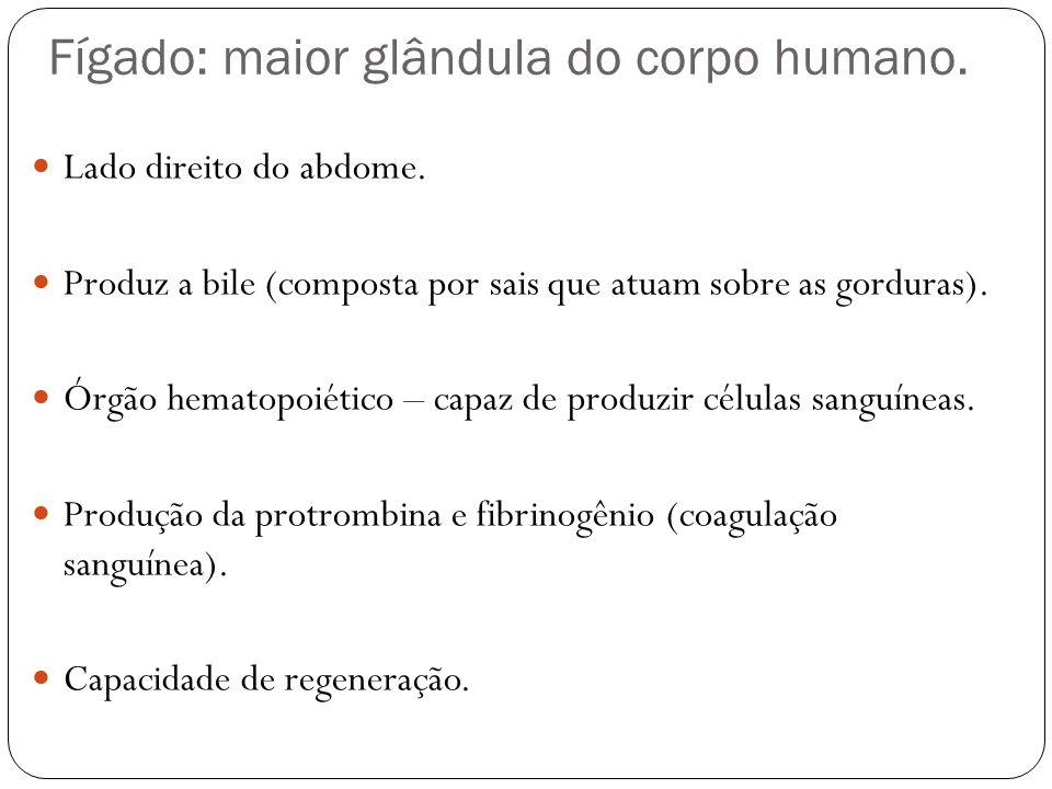 Fígado: maior glândula do corpo humano.