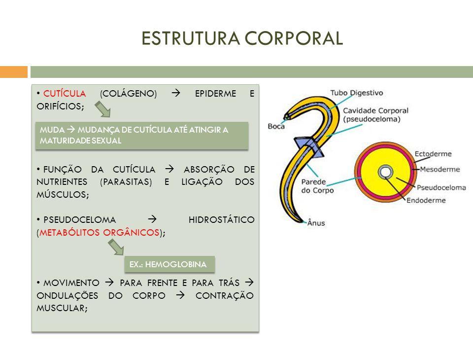 ESTRUTURA CORPORAL CUTÍCULA (COLÁGENO)  EPIDERME E ORIFÍCIOS;