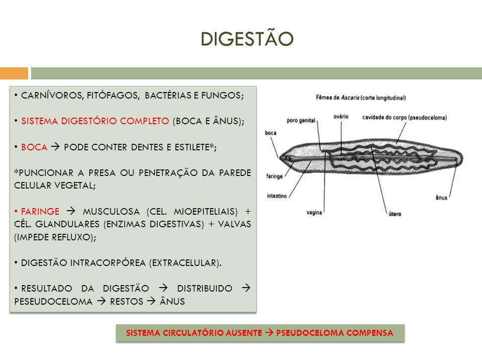 SISTEMA CIRCULATÓRIO AUSENTE  PSEUDOCELOMA COMPENSA