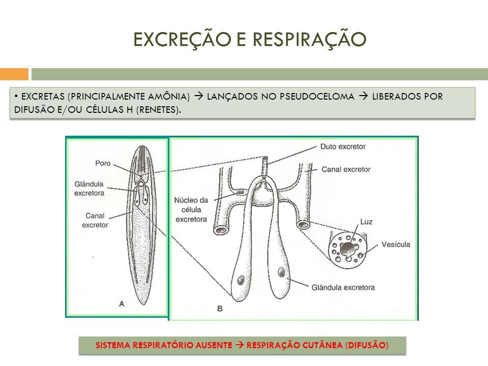 SISTEMA RESPIRATÓRIO AUSENTE  RESPIRAÇÃO CUTÂNEA (DIFUSÃO)