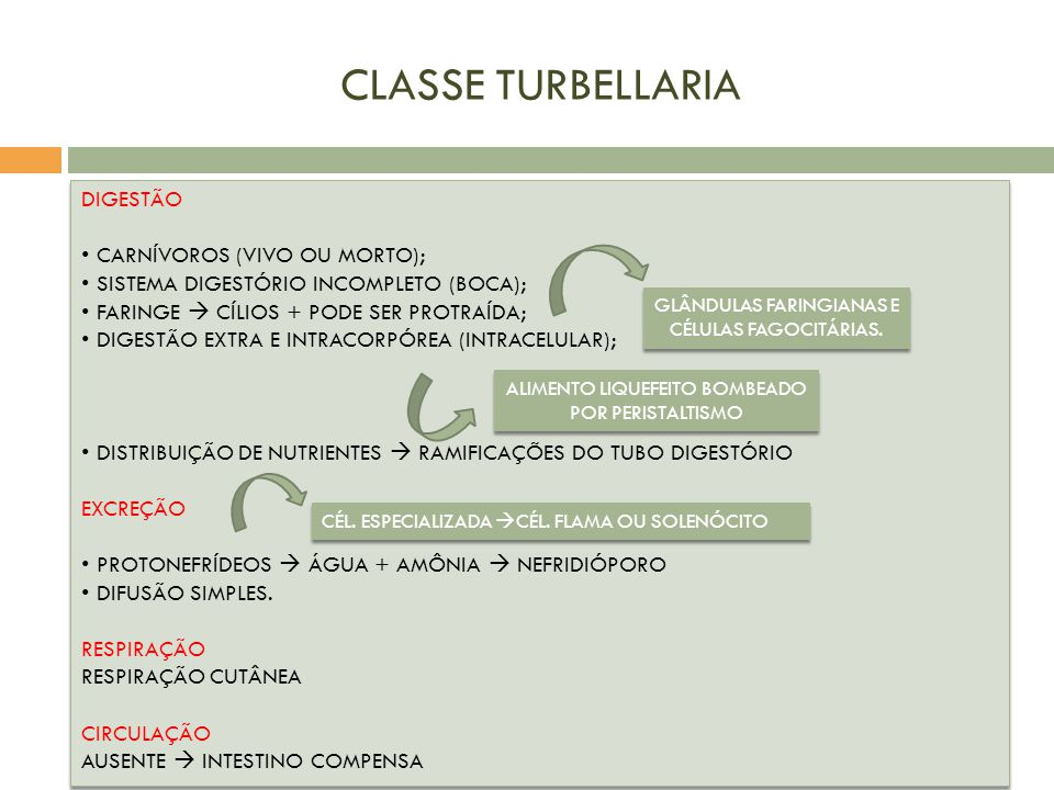 CLASSE TURBELLARIA DIGESTÃO CARNÍVOROS (VIVO OU MORTO);