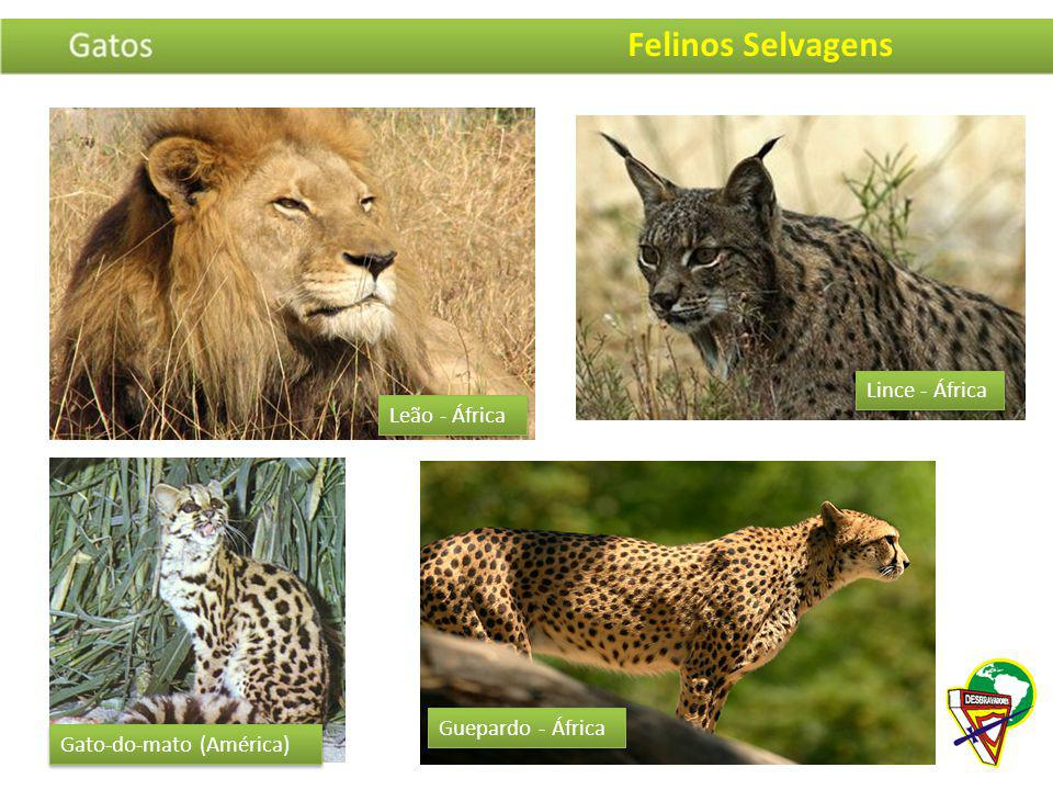 Felinos Selvagens Lince - África Leão - África Guepardo - África