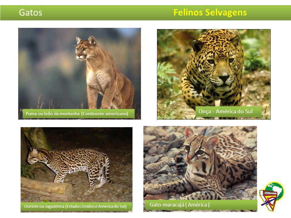 Felinos Selvagens Onça - América do Sul Gato-maracajá ( América )