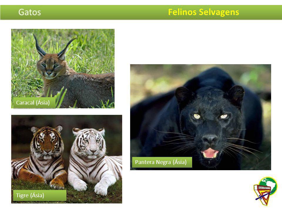 Felinos Selvagens Caracal (Ásia) Pantera Negra (Ásia) Tigre (Ásia)