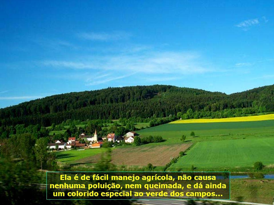 6322 Ela é de fácil manejo agrícola, não causa nenhuma poluição, nem queimada, e dá ainda um colorido especial ao verde dos campos...
