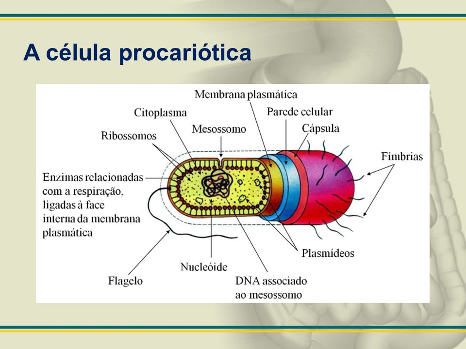 A célula procariótica