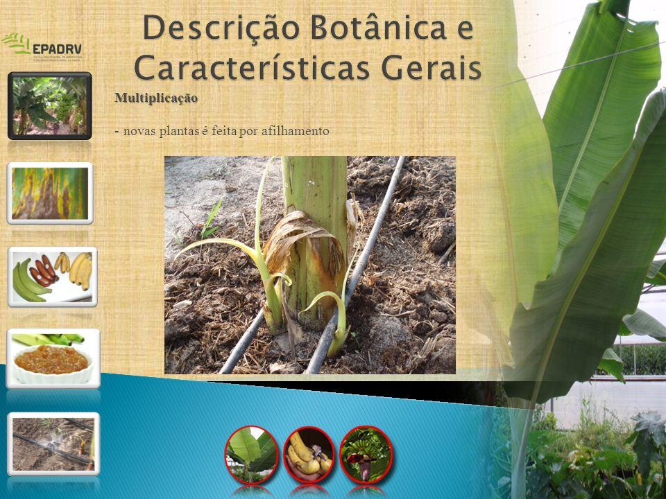 Descrição Botânica e Características Gerais