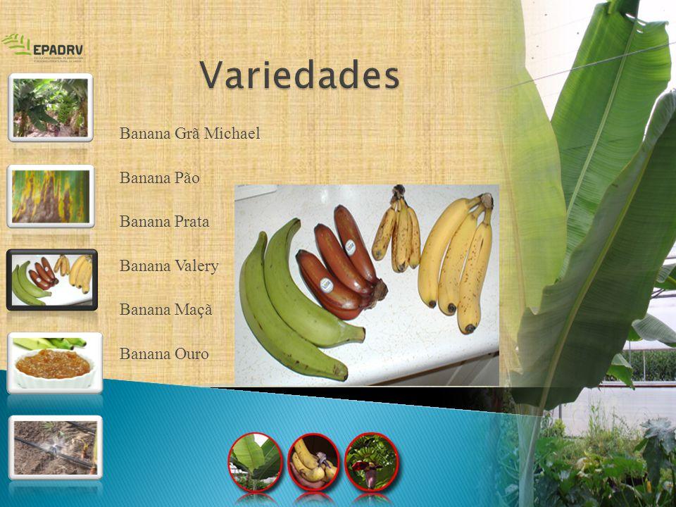 Variedades Banana Grã Michael Banana Pão Banana Prata Banana Valery