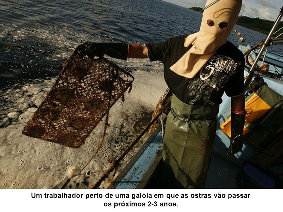 Um trabalhador perto de uma gaiola em que as ostras vão passar