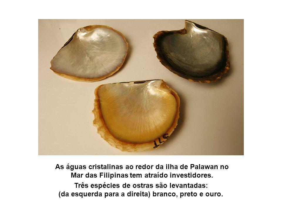 Três espécies de ostras são levantadas: