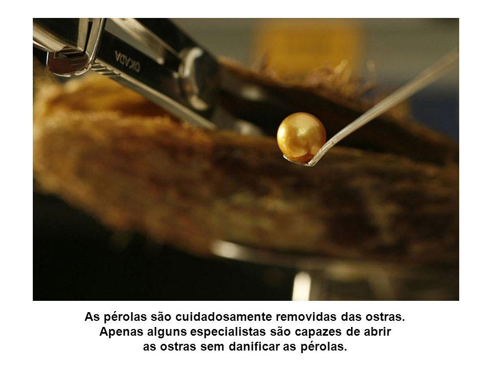 As pérolas são cuidadosamente removidas das ostras.