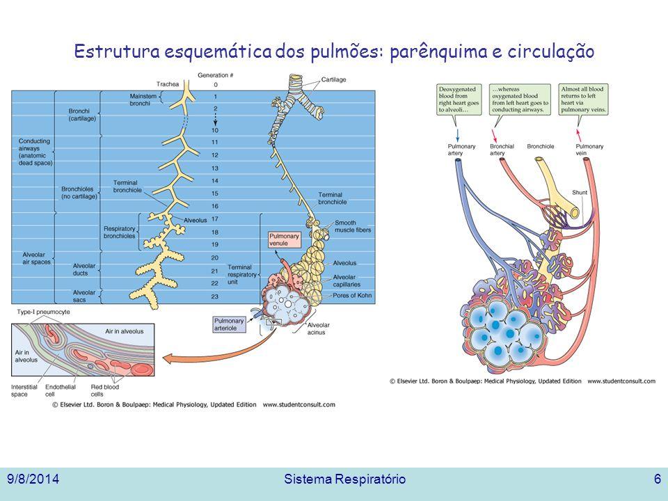 Estrutura esquemática dos pulmões: parênquima e circulação