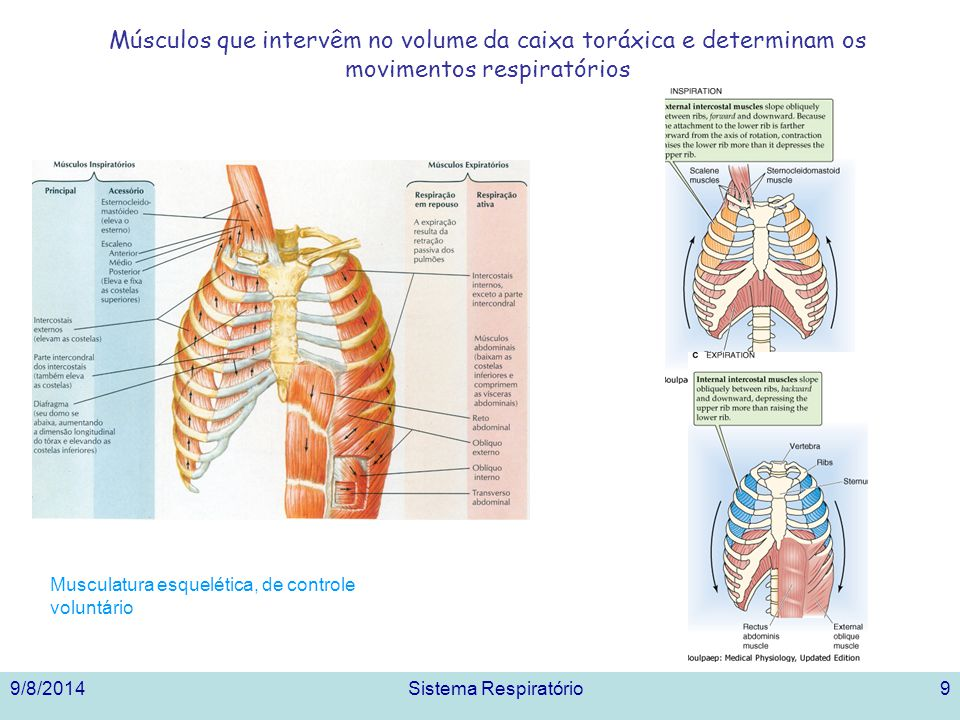 Músculos que intervêm no volume da caixa toráxica e determinam os movimentos respiratórios
