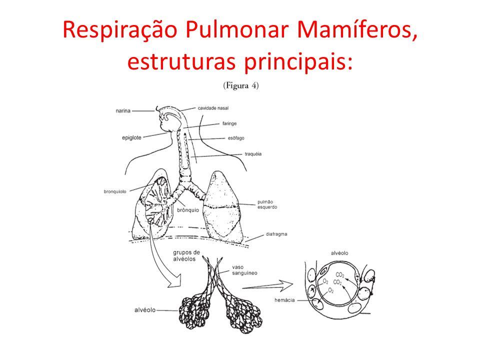 Respiração Pulmonar Mamíferos, estruturas principais: