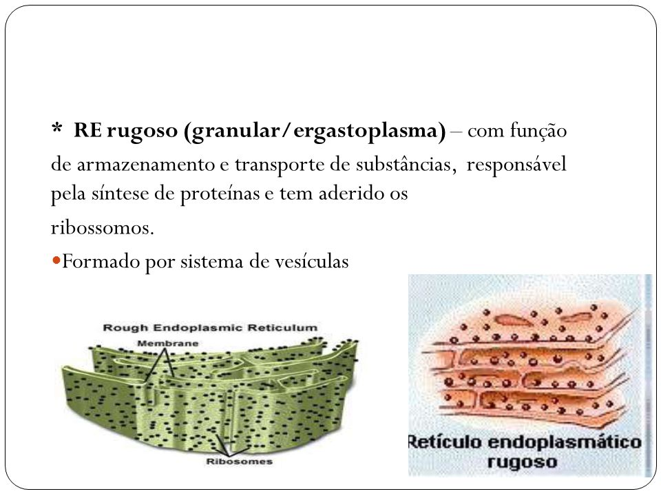 * RE rugoso (granular/ergastoplasma) – com função