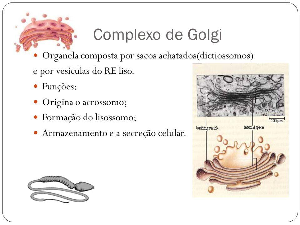 Complexo de Golgi Organela composta por sacos achatados(dictiossomos)