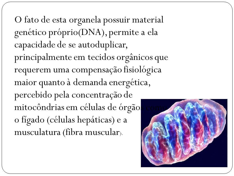 O fato de esta organela possuir material genético próprio(DNA), permite a ela capacidade de se autoduplicar, principalmente em tecidos orgânicos que requerem uma compensação fisiológica maior quanto à demanda energética, percebido pela concentração de mitocôndrias em células de órgãos como o fígado (células hepáticas) e a musculatura (fibra muscular).