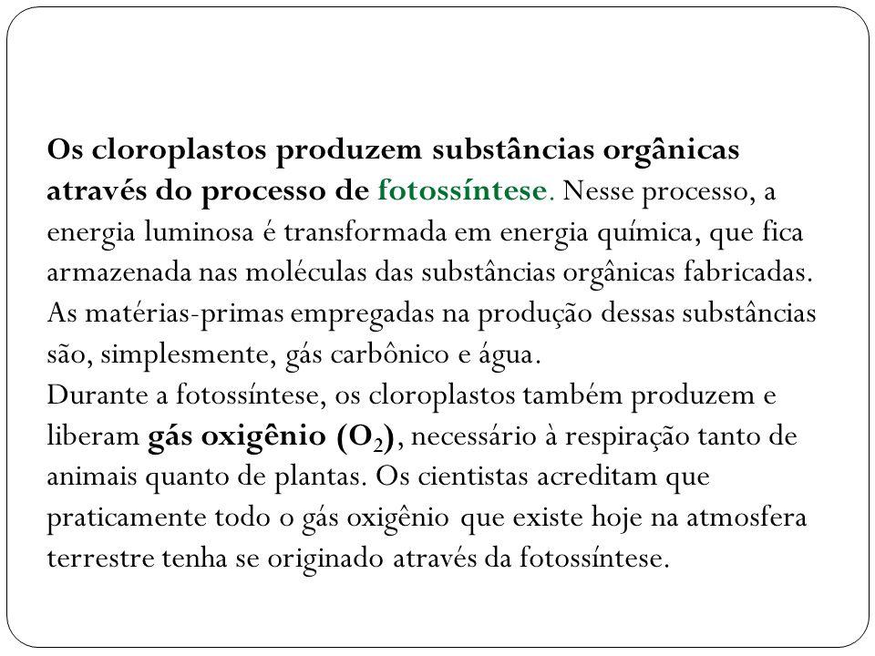 Os cloroplastos produzem substâncias orgânicas através do processo de fotossíntese. Nesse processo, a energia luminosa é transformada em energia química, que fica armazenada nas moléculas das substâncias orgânicas fabricadas. As matérias-primas empregadas na produção dessas substâncias são, simplesmente, gás carbônico e água.
