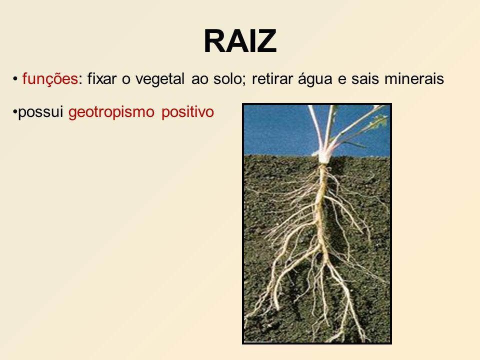 RAIZ funções: fixar o vegetal ao solo; retirar água e sais minerais