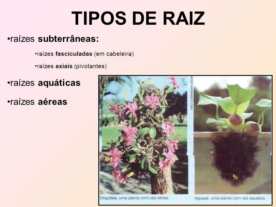 TIPOS DE RAIZ raízes subterrâneas: raízes aquáticas raízes aéreas