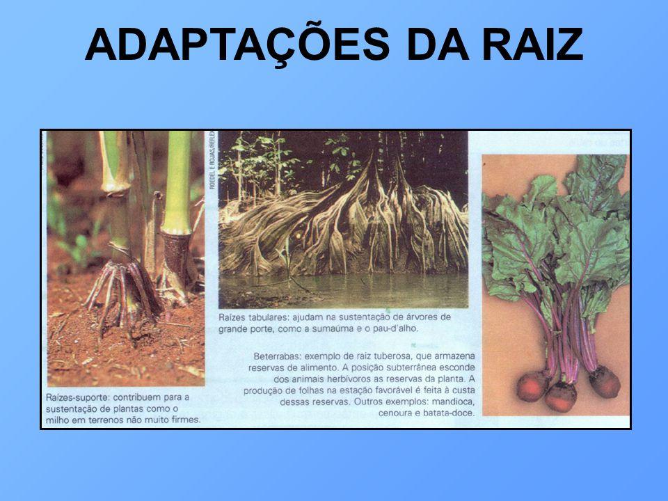 ADAPTAÇÕES DA RAIZ
