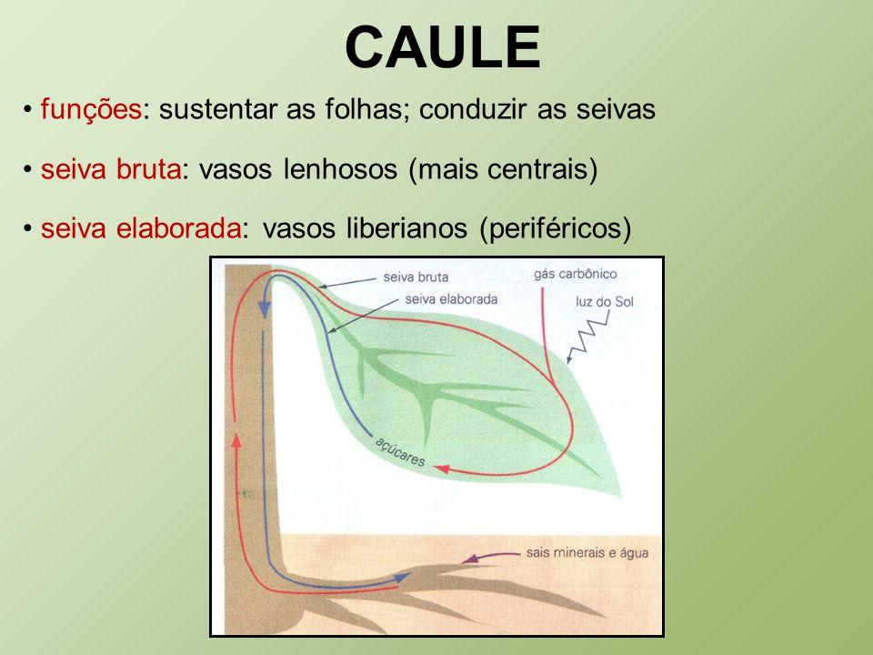 CAULE funções: sustentar as folhas; conduzir as seivas