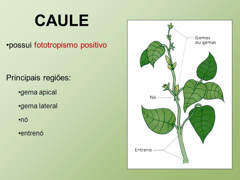 CAULE possui fototropismo positivo Principais regiões: gema apical